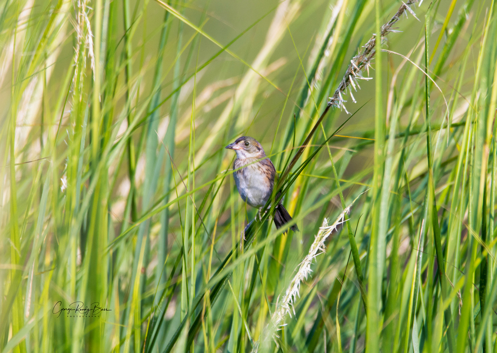Backmans Sparrow on Zekes Island Reserve