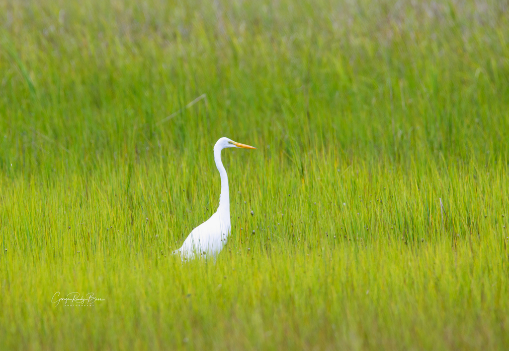 Great White Heron on Zekes Island Reserve