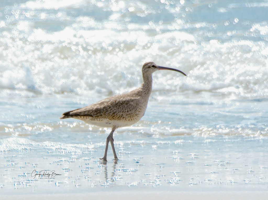 Whimbrel on Zekes Island Reserve (1)